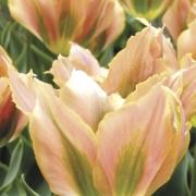 Тюльпаны Грин Ривер
