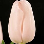 Тюльпаны Пинк Джевел