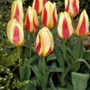 Тюльпаны Зампа