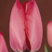 Тюльпаны Акрополис