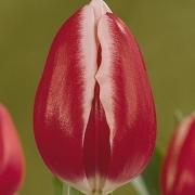 Тюльпаны Фуранд