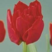 Тюльпаны Рок энд Ролл