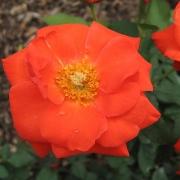 Розы Оранж Сенсейшн