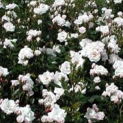 Розы Шникусшен