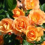Les roses Portoroj
