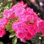 Розы Лавли Фейри