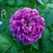 Roses Reine des Violettes