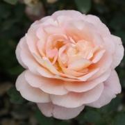 Розы Леандр