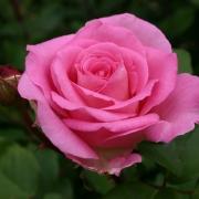 Розы Беверли