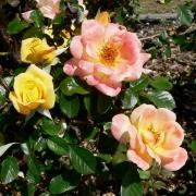 Розы Лаура Форд