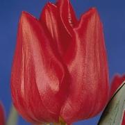 Тюльпаны Хитачи