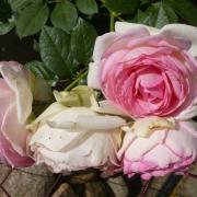 Эден Роуз