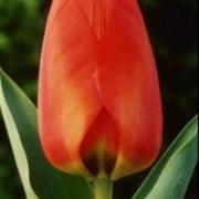 Тюльпаны Дарви Оранж
