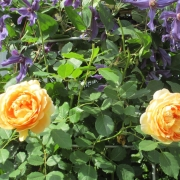Розы Голден Селебрейшн