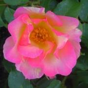 Розы Оливер Ролингер