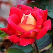 Les roses Monte_Karlo_Kantri_Klab