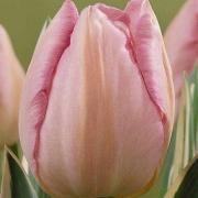 Тюльпаны Дезайн Импрешн