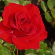 Розы Аллотриа