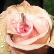 Розы Лени Неусс