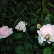 Розы Генероус Гарденер