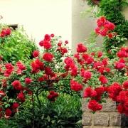 Розы Виктория