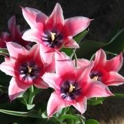 Тюльпаны Йонина