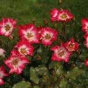 Розы Черри Меилландекор
