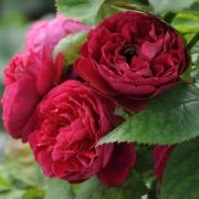 Розы Бицентенаире де Жилло