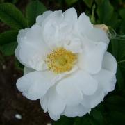 Розы Уайт Роадраннер