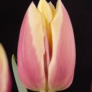 Тюльпаны Каталина