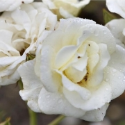 Розы Уайт Спрэй