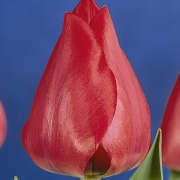 Тюльпаны Коринна