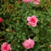 Розы Шугар Бэйби