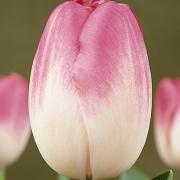 Тюльпаны Афке