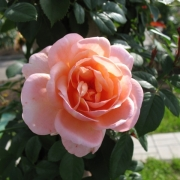 Розы Белле ду Сеньор