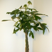 Комнатные растения Пахира