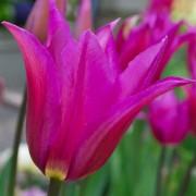 Тюльпаны Бургунди