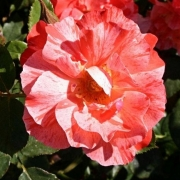 Розы Грималди