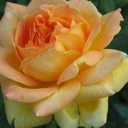 Розы Жан Жионо