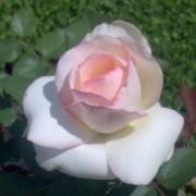 Розы Джентл Кавер