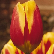 Тюльпаны Кайзерскрон
