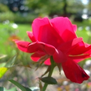 Roses Tamango