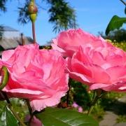 Розы Ингланд Роуз
