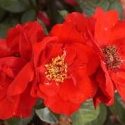 Розы Бэд Фуссинг