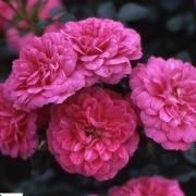Розы Книрпс