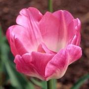 Тюльпаны Апстар