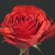 Розы Ферст Эдишн