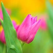 Тюльпаны Спалдинг