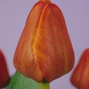 Тюльпаны Каир