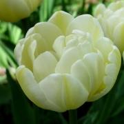 Тюльпаны Касабланка